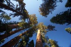 Jätte- sequoior, Mariposa dunge, Yosemite Royaltyfria Bilder