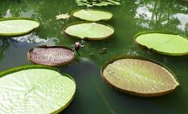 Jätte- sidor av Victoria waterlily Arkivfoton