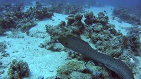 Jätte- simning för morayål på det tropiska havet på korallreven stock video