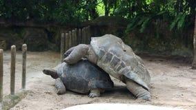 jätte- singapore sköldpaddazoo royaltyfri bild