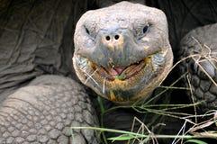 Jätte- sköldpadda - öppen mun ecuador galapagos liggande Royaltyfri Bild