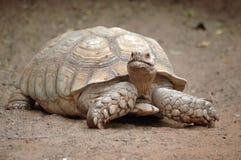 jätte- sköldpadda Arkivbilder