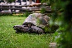 jätte- sköldpadda Royaltyfria Bilder