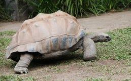jätte- sköldpadda Royaltyfri Foto