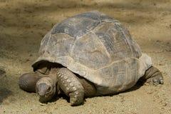 jätte- sköldpadda Royaltyfri Bild