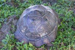 Jätte- sköldpadda av Santa Cruz i Galapagos öar Ecuador 10 Royaltyfria Bilder