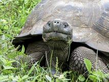 Jätte- sköldpadda för Galà ¡ pagos Arkivfoton