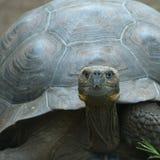 Jätte- sköldpadda, galapagos öar, ecuador Fotografering för Bildbyråer