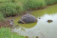 Jätte- sköldpadda i ett damm, Santa Cruz Island, Galapagos Arkivbild