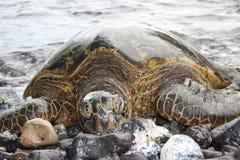 Jätte- sköldpadda i Maui Royaltyfri Fotografi