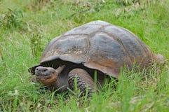 Jätte- sköldpadda i naturlig livsmiljö på Santa Cruz Island Arkivfoto