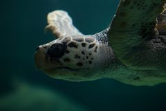 Jätte- sköldpadda i zoo arkivbilder