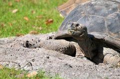 Jätte- sköldpadda i zoo royaltyfri fotografi