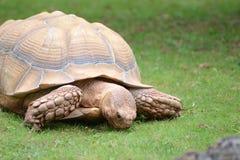 Jätte- sköldpadda som äter gräs Arkivfoto