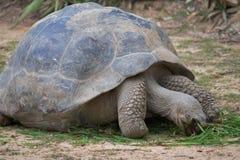 Jätte- sköldpadda som äter gräs Royaltyfria Bilder