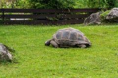 Jätte- sköldpadda som äter gräs i en äng arkivfoto