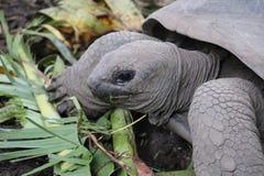 Jätte- sköldpadda som äter palmbladet royaltyfria bilder