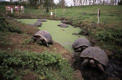 jätte- sköldpaddor Arkivfoton