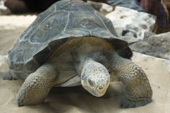 jätte- sköldpaddor Royaltyfri Fotografi