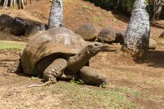 Jätte- sköldpaddor, dipsochelysgigantea i La Vanille Nature Park, ö Mauritius royaltyfria bilder