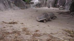 Jätte- sköldpaddor utomhus stock video