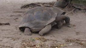 Jätte- sköldpaddor utomhus lager videofilmer