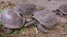 Jätte- sköldpaddor utomhus arkivfilmer