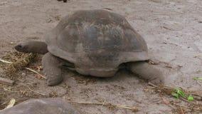 Jätte- sköldpaddor utomhus på Seychellerna stock video