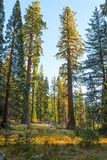 Jätte- skog i strålarna av inställningssolen, sequoianationalpark, Tulare County, Kalifornien, Förenta staterna Fotografering för Bildbyråer