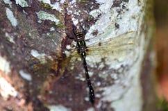 Jätte- slända som sätta sig på en trädstam Arkivbild