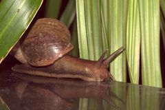jätte- snail Arkivfoton