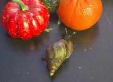 Jätte- snigel som ska väljas mellan pumpa och mandarinen royaltyfria bilder