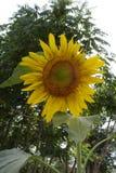 jätte- solros Royaltyfria Foton