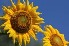 Jätte- solrosor Fotografering för Bildbyråer
