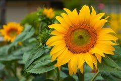 Jätte- solrosor som växer i en trädgård i sommar på 1st Janaury 20 Royaltyfri Fotografi