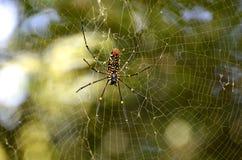 jätte- spindelträ Fotografering för Bildbyråer