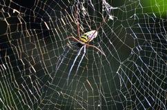 jätte- spindelträ Royaltyfria Bilder