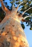 jätte- stigande treestam upp Royaltyfri Fotografi