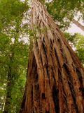 jätte- stolt redwoodträdstanding Arkivbilder
