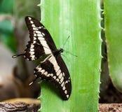 Jätte- Swallowtail Arkivfoton