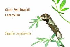 Jätte Swallowtail Caterpillar som isoleras på vit royaltyfri foto