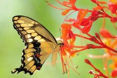 Jätte- Swallowtail fjäril Fotografering för Bildbyråer