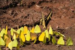 Jätte Swallowtail och svavelfjärilar som får salta från gyttja Arkivbilder