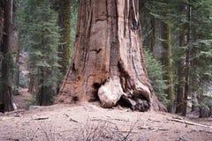 Jätte- träd Royaltyfria Bilder