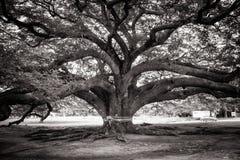 Jätte- träd för abstrakt svartvit bild eller Jamjuree träd det gränsmärkeläge av det Kanjanaburi landskapet Arkivbilder