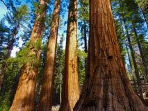 Jätte- träd i den Yosemite nationalparken, Kalifornien Arkivbilder