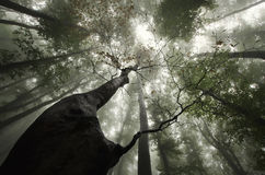 Jätte- träd som ser upp i en skog med mystisk dimma Arkivfoto