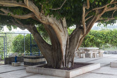 Jätte- tree Royaltyfria Bilder