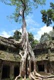Jätte- tree som räknar stentempelet av Ta Prohm Royaltyfria Bilder