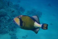 Jätte- triggerfish Royaltyfri Fotografi